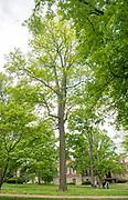 Bitternut Hickory, college green, Mapp Athens, summer, Tree Tour