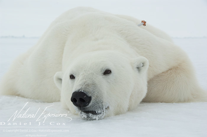 A large male polar bear (Ursus maritimus) lies tranquilized on the ice pack of the Beaufort Sea. Kaktovik, Alaska.