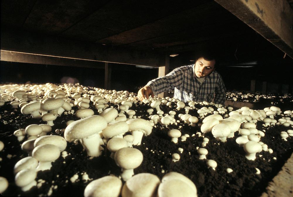 Mushroom farmer checks bedding soil of growing fungi.