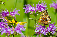 Fritillary butterfly perched on horsemint flower clustered around black-eyed susan blossom, mountain meadow, Jemez Mountains, NM, © 2010 David A. Ponton,