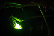 Female glow worm (Lampyris noctiluca). waving abdomen to attract mate. Dorset, UK.