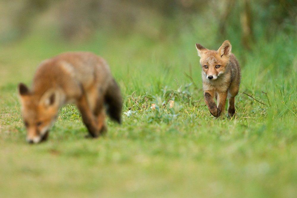 Red fox (Vulpus vulpus) cubs