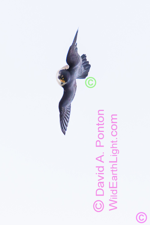 Peregrine falcon banks to wings vertical and uses a few fast wing beats to accelerate its gravity dive toward prey, © 2019 David A. Ponton