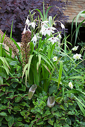 Pot with Plectranthus zuluensis, Eucomis comosa 'Sparkling Burgundy' (Pineapple lily), Pelargonium quercifolium and Gladiolus callianthus syn. Acidanthera bicolor var murielae AGM. Abyssinian gladiolus