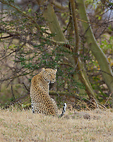 Leopard (Panthera pardus) looking over his shoulder, Northern Serengeti