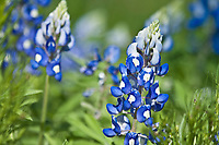 Texas Bluebonnet (Lupinus texensis)  are blue and white in racemes 1.5-4 inches long.  Each flower has a white center that turns that turns redish-purple with age.  Texas Bluebonnets are annual herbs that can be found along roadsides and open fields in the Texas Hill Country from March through May.  Texas.