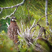 Male bobwhite quail in camoflage environment in South Texas.