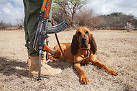 A bloodhound rests at the feet of his handler in Kenya