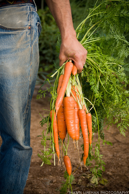Fresh organic carrots recently harvested.