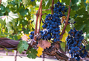 Grapevine in Napa, California.