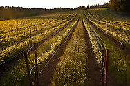 spring vines at Beringer Vineyards' Steinhauer Ranch on Howell Mountain. Napa Valley.
