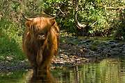 Highland Cow cooling off on a sumemrs day in the Caple Water. Closeburn, Scotland May 2008