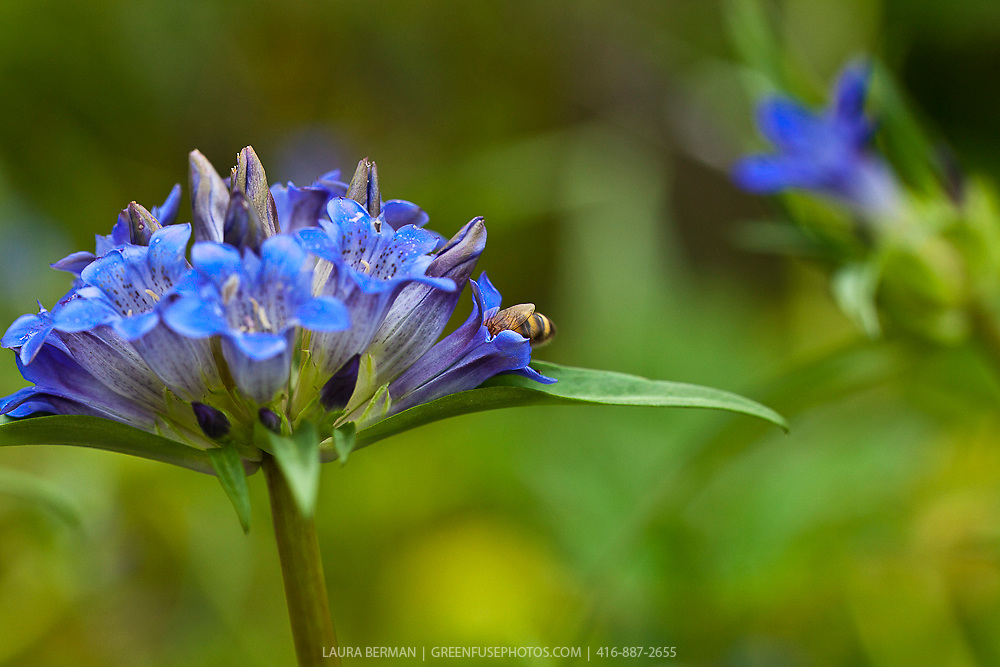 A honeybee dives head first into a blue gentian flower.
