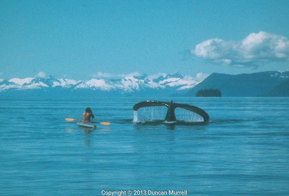"""Duncan Murrell kayaking with humpback whales in his Klepper Aerius 1 folding kayak, near the Brother's Islands, with Admiralty Island and Baranof Island in the distance, Stephen's Passage, Southeast Alaska, USA.<br /> <br /> This was my first ever memorable day kayaking with humpback whales in Southeast Alaska in about 1983; an amazing day that set the tone for another 20 years of involvement there with the whales. It was a beautifully flat calm day out on the water and there was a large pod of humpback whales feeding in the vicinity of the Brothers Islands where we were moored with """"Avalon"""". It was the day when I realized that a kayak was the only way that I could really appreciate being around the whales without disturbing them or interrupting their natural feeding behaviour. I discovered that they are completely safe to be around and that I could manoeuvre the kayak more than adequately to stay out of their way. It was such an adrenaline-rush to be so close to them, and to be able to feel their power and energy transmitted through the water."""