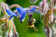 "Also known as Bee Bread, the borage herb is much loved by bees. By the Middle Ages, honey was known as ""the soul of flowers."""