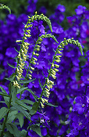 foxgloves growing in front of blue delphinium