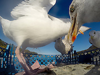 seagulls fighting for the remainings after gutting fish