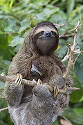 Pygmy three-toed sloth<br /> Bradypus pygmaeus<br /> Mother and three-month-old baby<br /> Isla Escudo de Veraguas, Panama