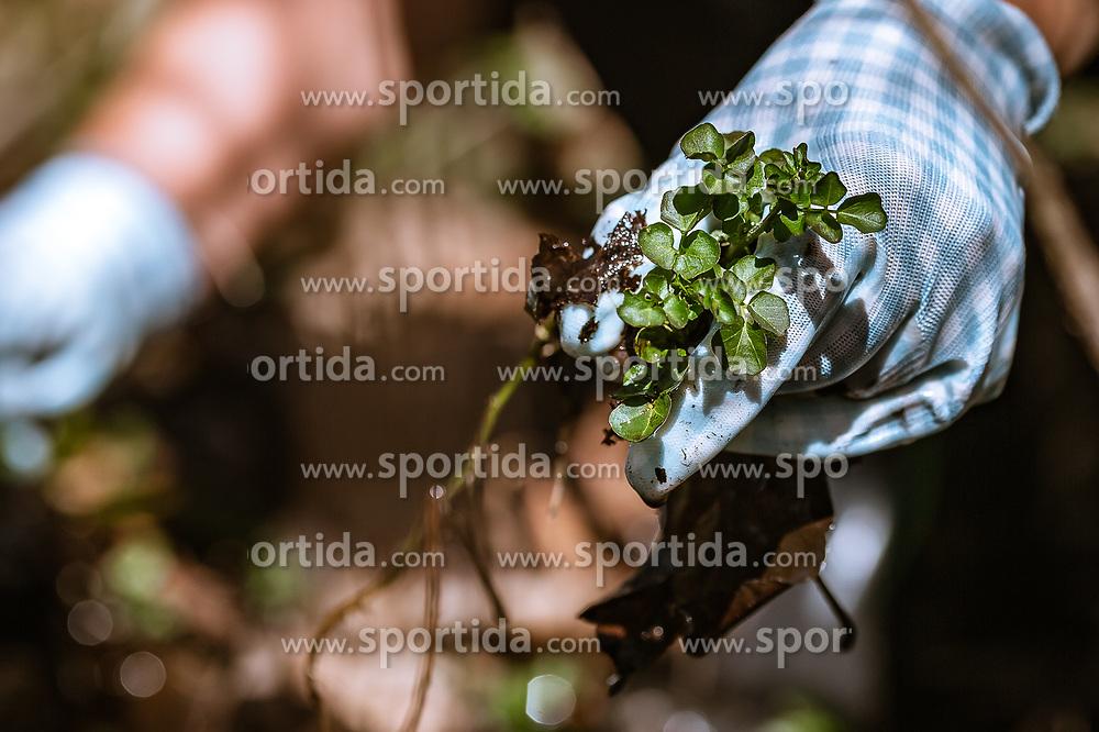 THEMENBILD - eine Frau hält die frische gepflückte echte Brunnenkresse in den Händen. Sie trägt Handschuhe, aufgenommen am 19. April 2019, Kaprun, Österreich // a woman holds the freshly picked real watercress in her hands. She wears gloves on 2019/04/19, Kaprun, Austria. EXPA Pictures © 2019, PhotoCredit: EXPA/ Stefanie Oberhauser