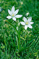STAR-OF-BETHLEHEM Ornithogalum angustifolium (Liliaceae) Height to 25cm. Bulbous perennial of dry grassland. FLOWERS are 3-4cm across and star-like (open only in sunshine), the 6 white petals with a green stripe on the back; borne in umbel-like clusters (May-Jun). FRUITS are capsules with 6 ridges. LEAVES are narrow with a white stripe down the centre. STATUS-Possibly native in E England; naturalised elsewhere.