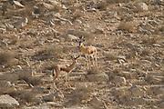 two Dorcas Gazelle (Gazella dorcas), also known as the Ariel Gazelle Photographed in the Negev Desert, Israel