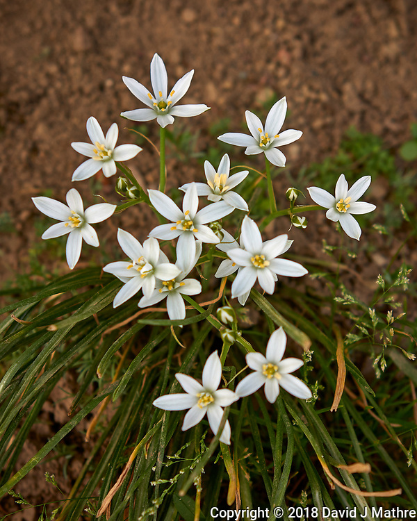 Star of Bethlehem Flowers. Image taken with a Leica CL camera and 23 mm lens