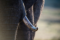African elephant tusk , Addo Elephant National Park, Eastern Cape, South Africa