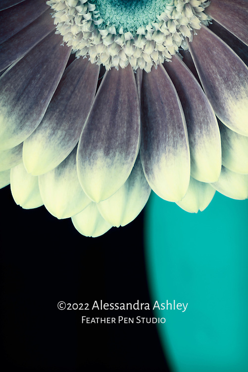 Macro rendering of light-tipped petals of Gerbera daisy in cool tones with light painting as though moonlit.