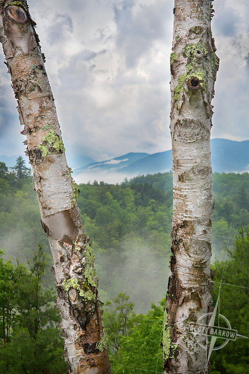 Two birch tree trunks frame a foggy mountain vista on a stormy day.