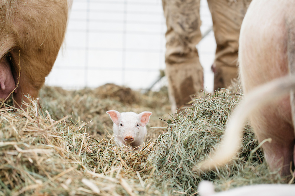 Pigglet in between two sows