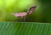 Unknown praying mantis from Danum Valley, Sabah, Borneo.