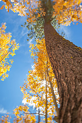 """""""Aspen in Tahoe 4"""" - These aspen trees and pine tree were photographed in the Fall near Brockway Summit, Tahoe. A tilt-shift lens was used to achieve the focus effect."""