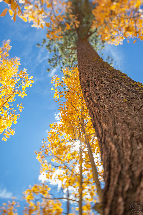 """Aspen in Tahoe 4"" - These aspen trees and pine tree were photographed in the Fall near Brockway Summit, Tahoe. A tilt-shift lens was used to achieve the focus effect."