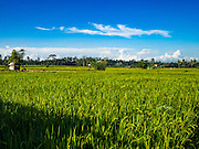 20 JULY 2016 - TAMPAKSIRING, GIANYAR, BALI: A rice field in Tampaksiring, Bali. Rice is an important part of the Balinese culture. The rituals of the cycle of planting, maintaining, irrigating, and harvesting rice enrich the cultural life of Bali beyond a single staple can ever hope to do. Despite the importance of rice, Bali does not produce enough rice for its own needs and imports rice from nearby countries. Because of its dependable growing weather and number of micro-climates, rice cultivation is a year round activity in Bali. Some farmers can be harvesting rice, while farmers just a few kilometers away can be planting rice. Most rice in Bali is still harvested by hand.      PHOTO BY JACK KURTZ