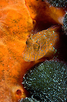 Ringneck blenny (Parablennius pilicornis) Larvotto Marine Reserve, Monaco, Mediterranean Sea<br /> Mission: Larvotto marine Reserve