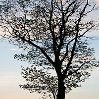 Silhouette of an expressive tree at sunrise in Shenandoah National Park, Virginia.