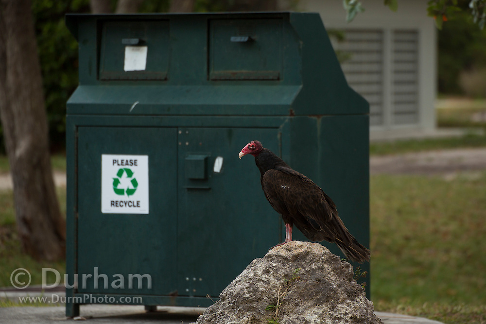 A turkey vulture   (Cathartes aura ) near wildlife resistant garbage and recycling bins in Biscayne Natonal Park, Florida.