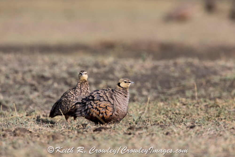 Sand grouse in East African habitat