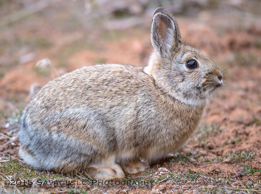Cottontail rabbit.