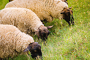 Normandy sheep, Mont Saint-Michel, Normandy, France