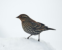 Female Red-winged Blackbird. Image taken with a Nikon D5 camera and 600 mm f/4 VR lens