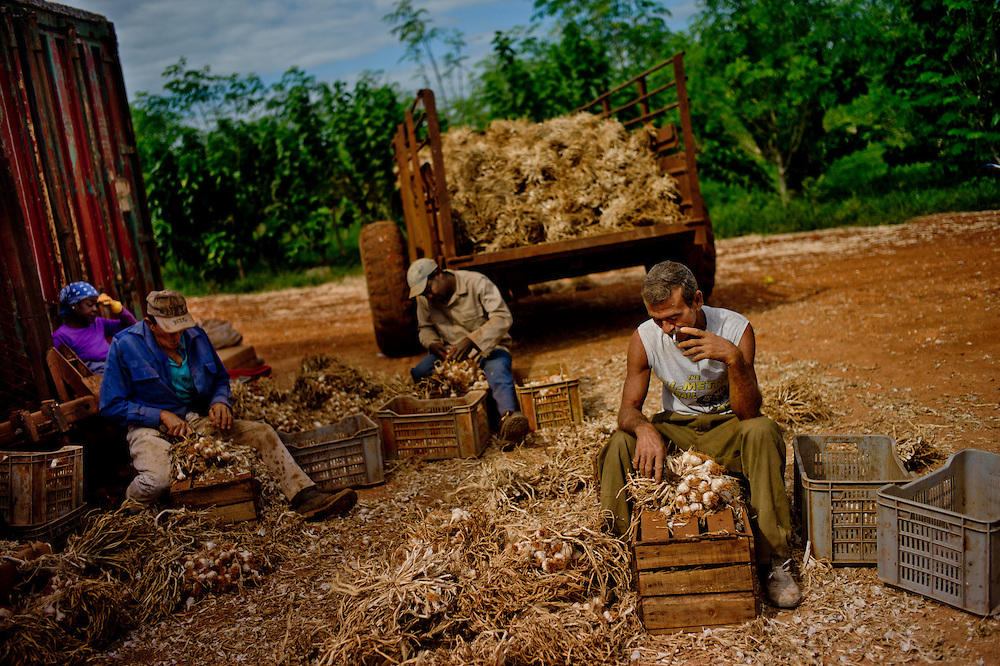 Workers on a private plantation in Güira de Melena processing garlic. No other industry has seen as much liberalization as agriculture, with a steady rollout of incentives.  Photo/Tomas Munita