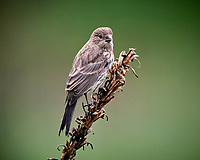 House Finch. Image taken with a Nikon D5 camera and 600 mm f/4 VR lens (ISO 1600, 600 mm, f/5.6, 1/200 sec)