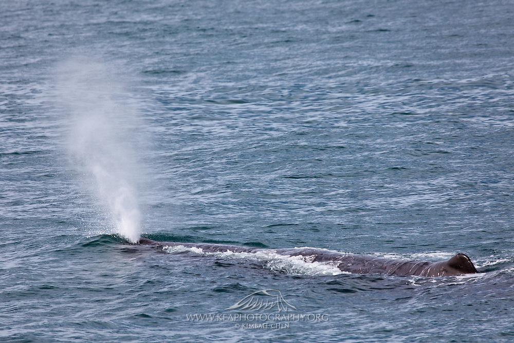 Sperm Whale, Kaikoura, New Zealand