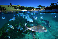 Snapper & blue maomao at Goat Island marine reserve. New Zealand