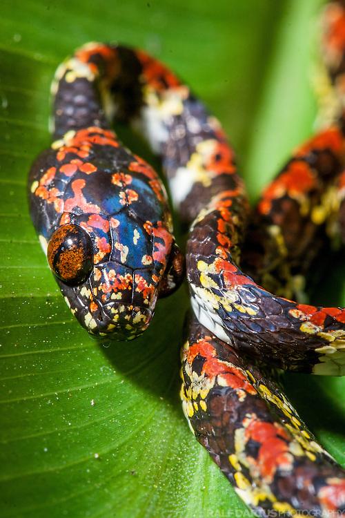 Colubrid (Snake) of the Genus Sibon found in the cloud forest around the Biological Station Bilsa, Mache-Chindul-Reserve, Ecuador - Natter (Schlange) der Gattung Sibon, die im Nebelwald um die Biologische Station Bilsa im Mache-Chindul-Reservat in Ekuador gefunden wurde