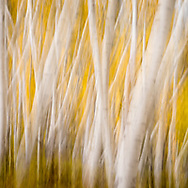 Abstract image of fall colored blurred aspen tree trunks