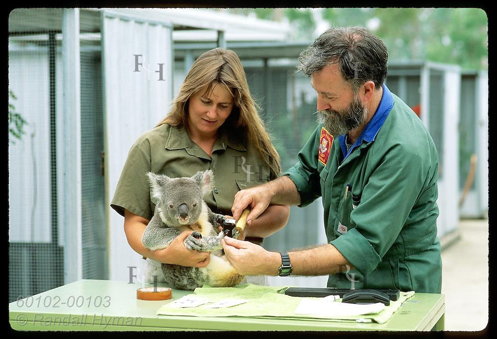 Zoologist Frank Carrick & vetnry nurse Lynne Douglas ink koala's foot for fingerprinting;Brisbane Australia