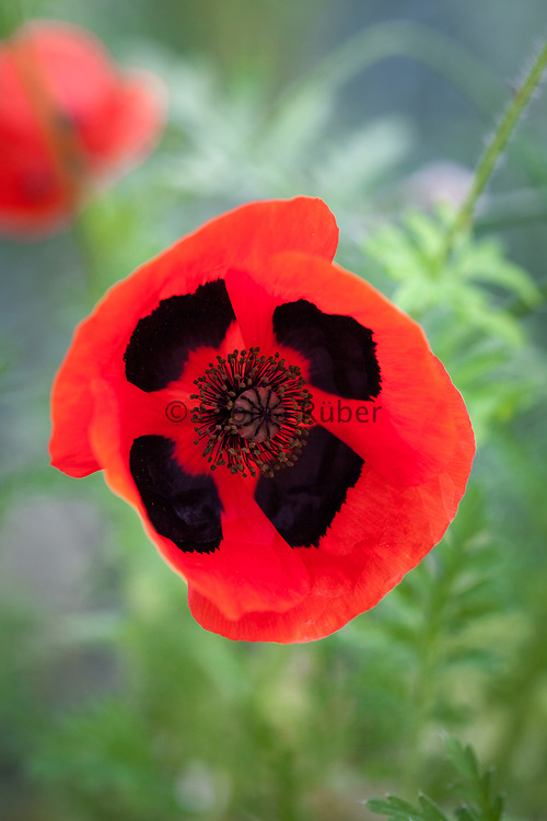 Papaver commutatum 'Ladybird' - ladybird poppy