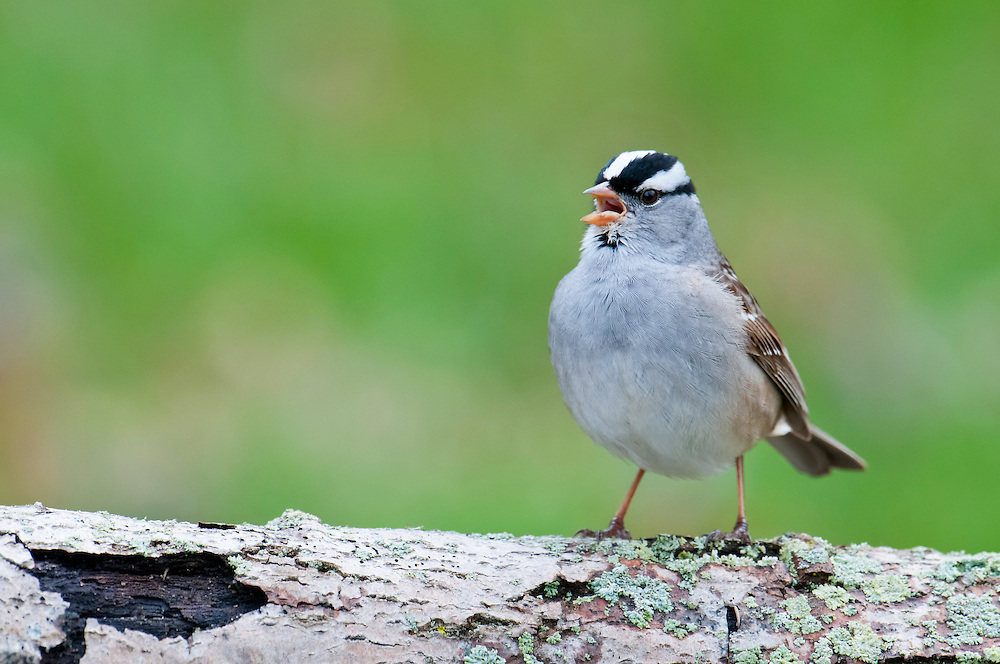 White-crowned Sparrow, Zonotrichia leucophrys, male singing, Tawas Point, Michigan